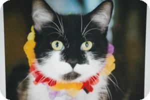 Domestic Shorthair Cat for adoption in Sacramento, California - Bonnie