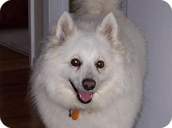 American Eskimo Dog Dog for adoption in Belle Chase, Louisiana - Spookie of MS