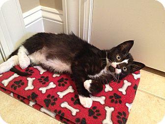 Domestic Shorthair Kitten for adoption in Speonk, New York - Mac