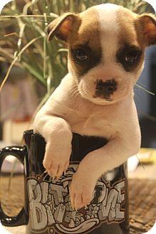 Boston Terrier/Terrier (Unknown Type, Medium) Mix Puppy for adoption in Wytheville, Virginia - Beans