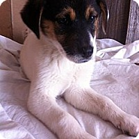 Adopt A Pet :: BIANCA/Puppy Love! - Glastonbury, CT