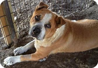 Boxer/Shar Pei Mix Dog for adoption in Quinlan, Texas - Meathead