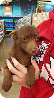 Chihuahua Dog for adoption in Fresno, California - Cocoa