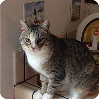 Calico Cat for adoption in San Ramon, California - Carly