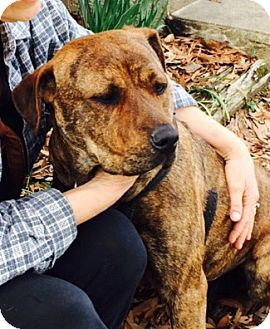 American Pit Bull Terrier/Labrador Retriever Mix Dog for adoption in Conway, Arkansas - Julie