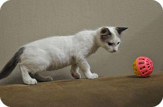 Domestic Shorthair Kitten for adoption in Tomball, Texas - Skylar