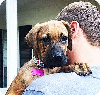 Boxer/Labrador Retriever Mix Puppy for adoption in Eden Prairie, Minnesota - Abby