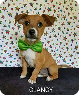 Dachshund Mix Puppy for adoption in Pluckemin, New Jersey - Clancy