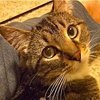 Domestic Shorthair Cat for adoption in LaJolla, California - Tito