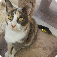 Domestic Shorthair Cat for adoption in Killeen, Texas - June Bug
