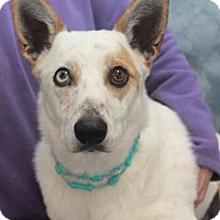 Adopt A Pet :: Laramie-PENDING - Garfield Heights, OH