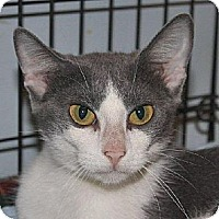 Domestic Shorthair Cat for adoption in Lacon, Illinois - Talula