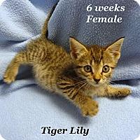 Adopt A Pet :: Tiger Lily - Bentonville, AR