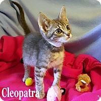 Adopt A Pet :: Cleocatra - Bentonville, AR