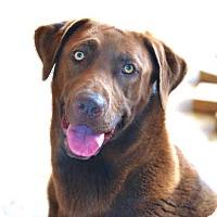 Adopt A Pet :: *Brownie Girl - PENDING - Westport, CT