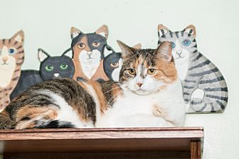 Calico Cat for adoption in Chicago, Illinois - Tammy
