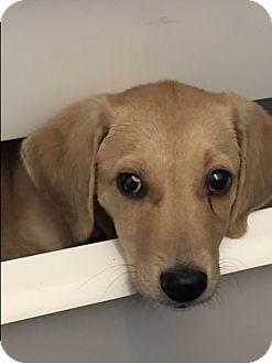 Labrador Retriever Mix Puppy for adoption in Brattleboro, Vermont - Puppy Annabella