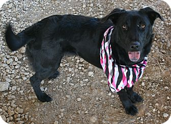 Collie/Retriever (Unknown Type) Mix Dog for adoption in Pilot Point, Texas - Saylor