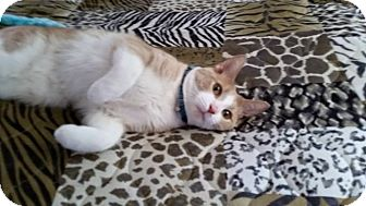 Domestic Shorthair Cat for adoption in Speedway, Indiana - Kiwi
