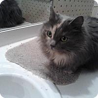 Adopt A Pet :: Sasha (LAP CAT&LOVER) - Sterling Hgts, MI