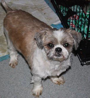 Shih Tzu Mix Dog for adoption in Homer, New York - Owen