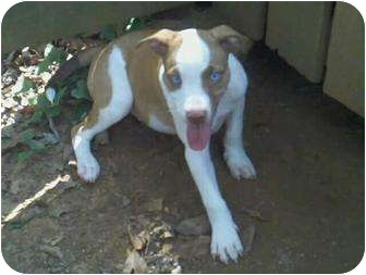 American Pit Bull Terrier Mix Dog for adoption in Killen, Alabama - Stone