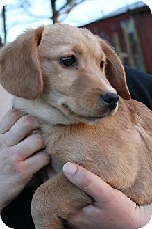 Cavalier King Charles Spaniel/Beagle Mix Puppy for adoption in Wytheville, Virginia - Doodle Bug