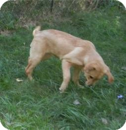 Labrador Retriever Puppy for adoption in Antioch, Illinois - Lucy ADOPTED!!