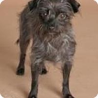 Adopt A Pet :: Cozette - Phoenix, AZ