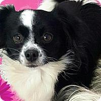 Adopt A Pet :: Suzie - Pompton Lakes, NJ