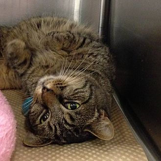 Domestic Shorthair Cat for adoption in Washington, Pennsylvania - Baily