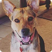 German Shepherd Dog Mix Dog for adoption in oklahoma city, Oklahoma - Dakota