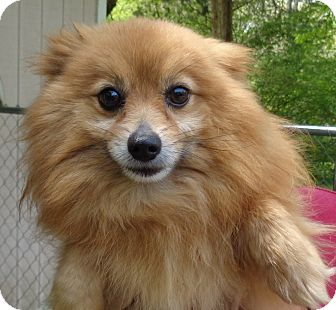 Pomeranian Dog for adoption in Crump, Tennessee - Felecity