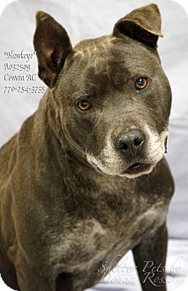 Pit Bull Terrier Mix Dog for adoption in Newnan City, Georgia - Hawkeye