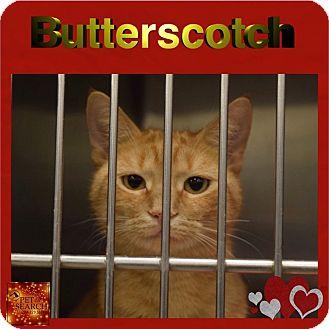 Domestic Shorthair Cat for adoption in Washington, Pennsylvania - Butterscotch