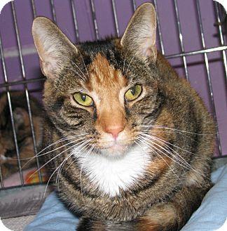 Domestic Shorthair Cat for adoption in New Kensington, Pennsylvania - Halle