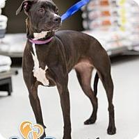 Adopt A Pet :: Abhaya - Newport, KY