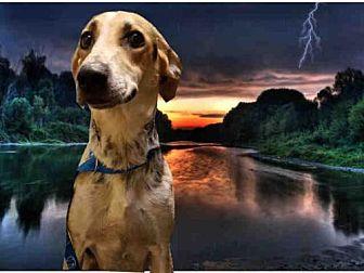 Foxhound/Greyhound Mix Dog for adoption in Fairfield, California - BESSY