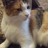 Domestic Shorthair Cat for adoption in Scottsdale, Arizona - Lady Di