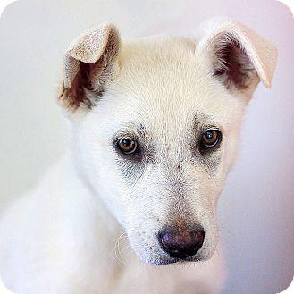 German Shepherd Dog Puppy for adoption in Berkeley, California - Labor Day