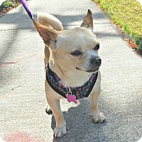 Adopt A Pet :: Rocko is a Chug! - Redondo Beach, CA
