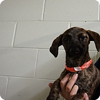 Adopt A Pet :: Abigail - Oviedo, FL