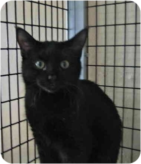 Domestic Shorthair Cat for adoption in Deerfield Beach, Florida - Jason