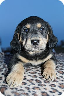 Rottweiler/Golden Retriever Mix Puppy for adoption in Bedminster, New Jersey - Toby Keith