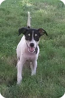 Spaniel (Unknown Type)/Terrier (Unknown Type, Small) Mix Puppy for adoption in Brooklyn, New York - Marvelous Michelle