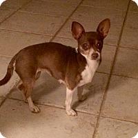 Chihuahua Dog for adoption in Edmond, Oklahoma - Luca