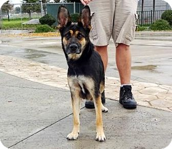 German Shepherd Dog Mix Dog for adoption in Lathrop, California - Lulu