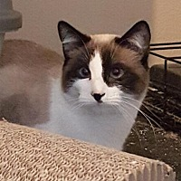 Adopt A Pet :: Artemis - Austin, TX