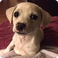 Adopt A Pet :: Mr Peabody - Glendale, AZ
