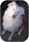 Australian Shepherd Dog for adoption in Mesa, Arizona - Emma (Maya)